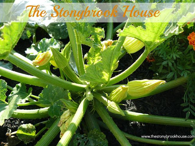 Healthy Zucchini Plant