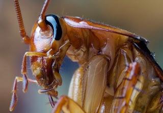 Foto de cerca al rostro de la cucaracha