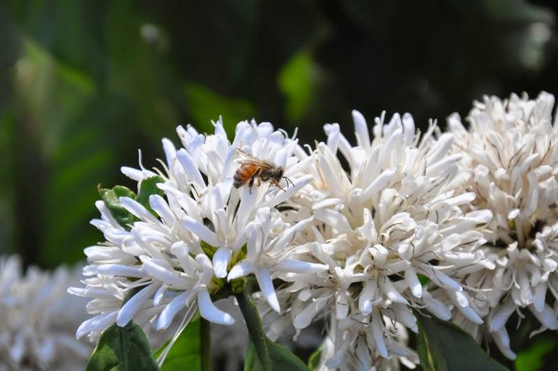 Kết quả hình ảnh cho hoa cafe và ong mật