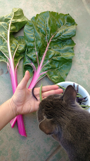 Swiss Chard, baby beans, and a nosy cat