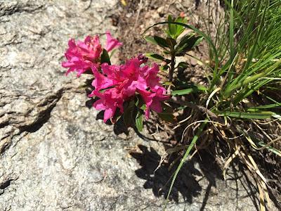 Rhododendron ferrugineum (Rododendro)