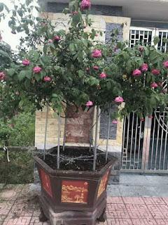 hoa hồng cổ sapa bị trộm