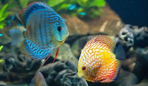 Discus Balık HD Duvar Kağıtları