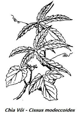 Hình vẽ Dây Chìa Vôi - Cissus modeccoides - Nguyên liệu làm thuốc Chữa Tê Thấp và Đau Nhức