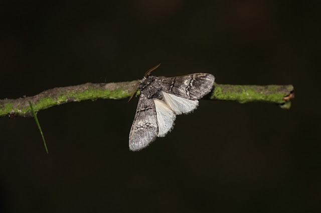 Weißbinden-Zahnspinner, Drymonia querna