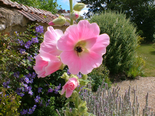 Hollyhocks are a favourite flower of bees