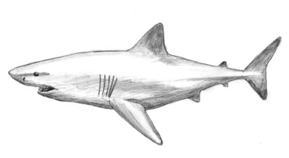 Karakalem Köpek Balığı çizimi Nasıl Yapılır Karakalem çizimleri