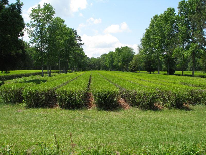 Magnolia S Place Charleston Tea Plantation