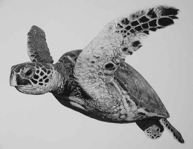 03-Hawksbill-Sea-Turtle-William-Bill-Harrison-Majestic-Wildlife-Carbon-Pencil-Drawings-www-designstack-co