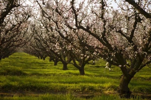 Los almendros en flor ocurre durante los primeros días de Febrero