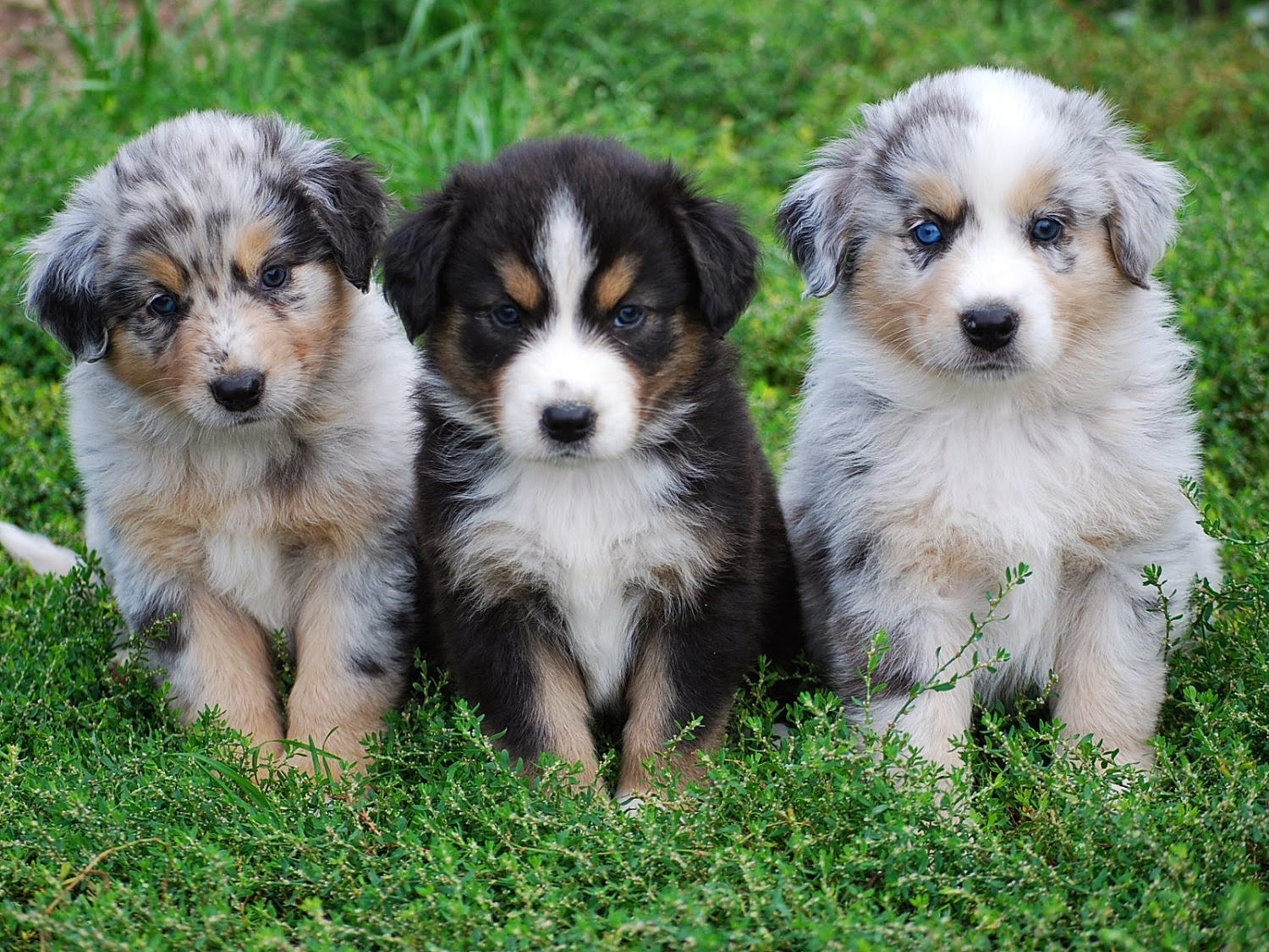 Australian shepherd puppies | LoL Picture Collection