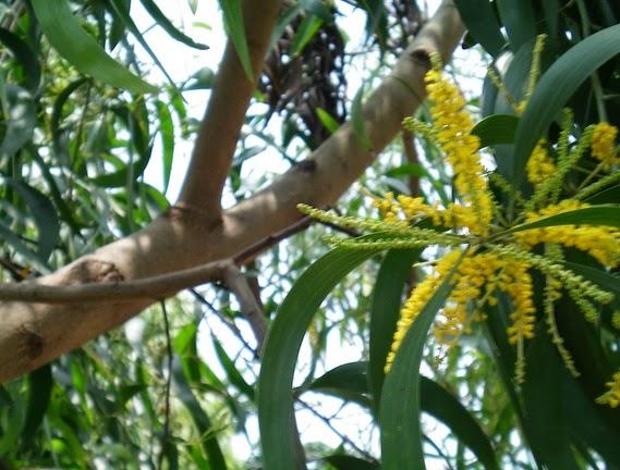 gambar bunga akasia