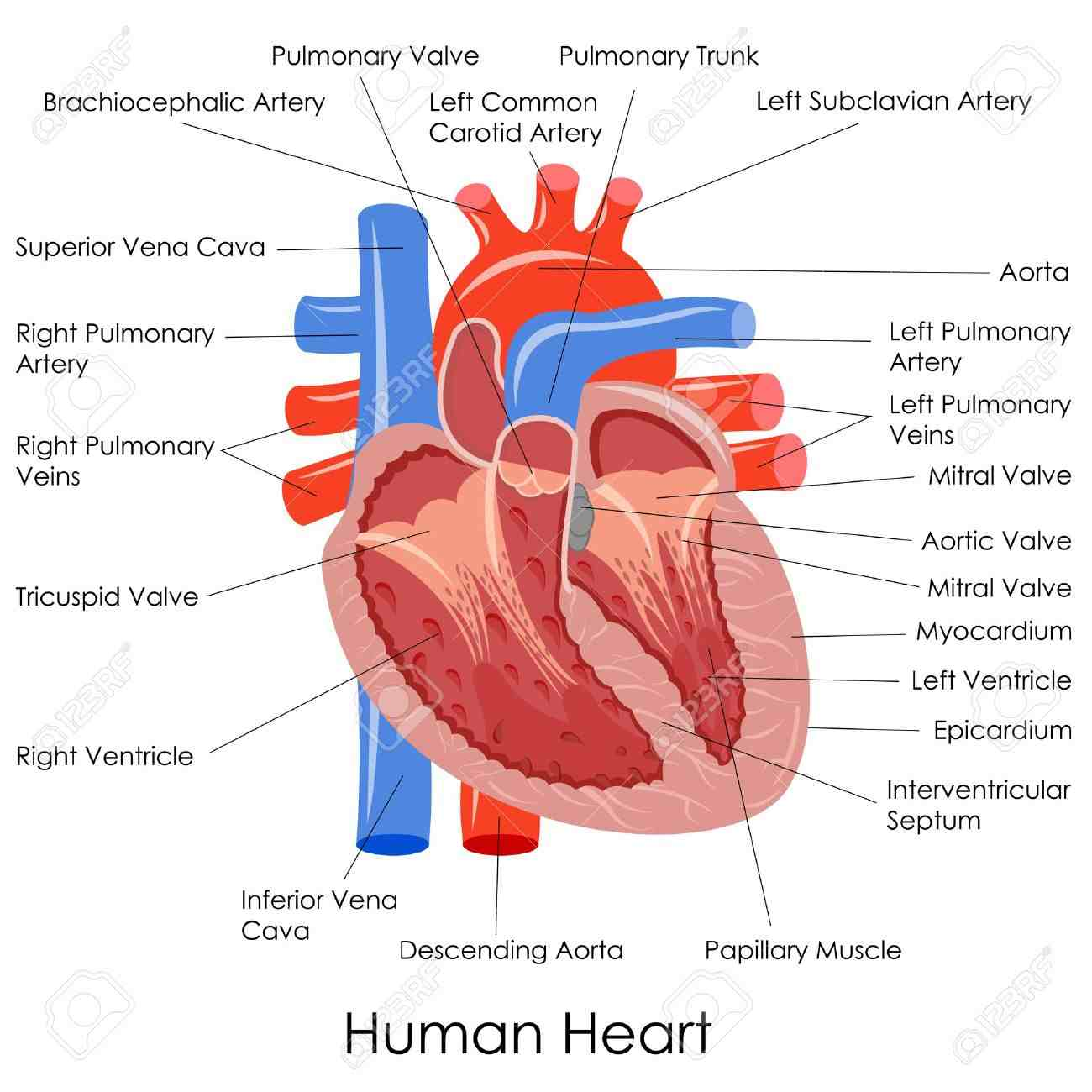 human heart anatomy diagram - coordstudenti, Muscles