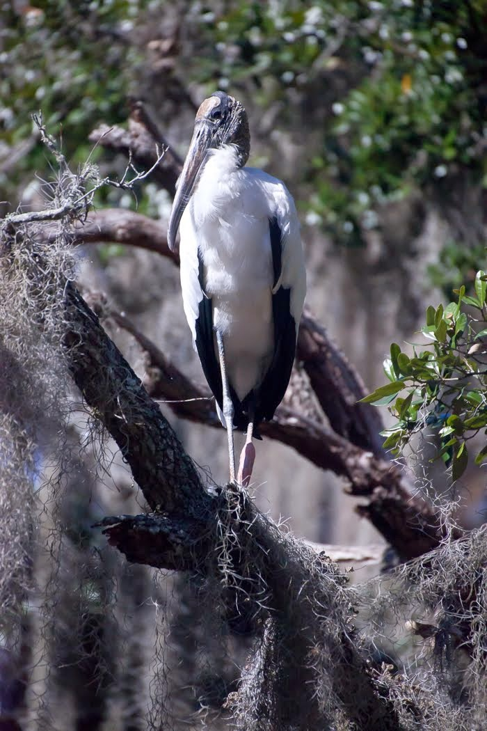 Gerry Love's Wood Stork