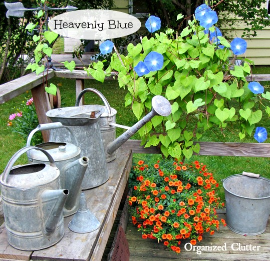Watering Can Collection & Morning Glories www.organizedclutterqueen.blogspot.com