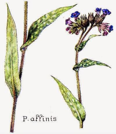 P. affinis