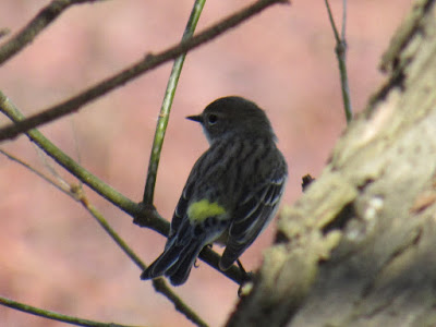 yellow-rumped warbler bird photography