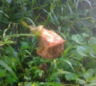 Botrytis blight in roses