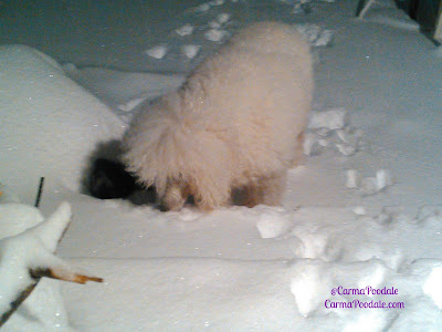 Poodle eating snow