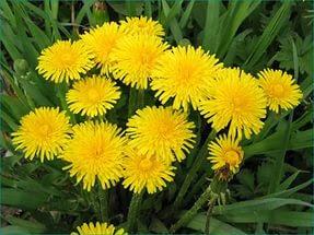 Цветок Дарьи - одуванчик