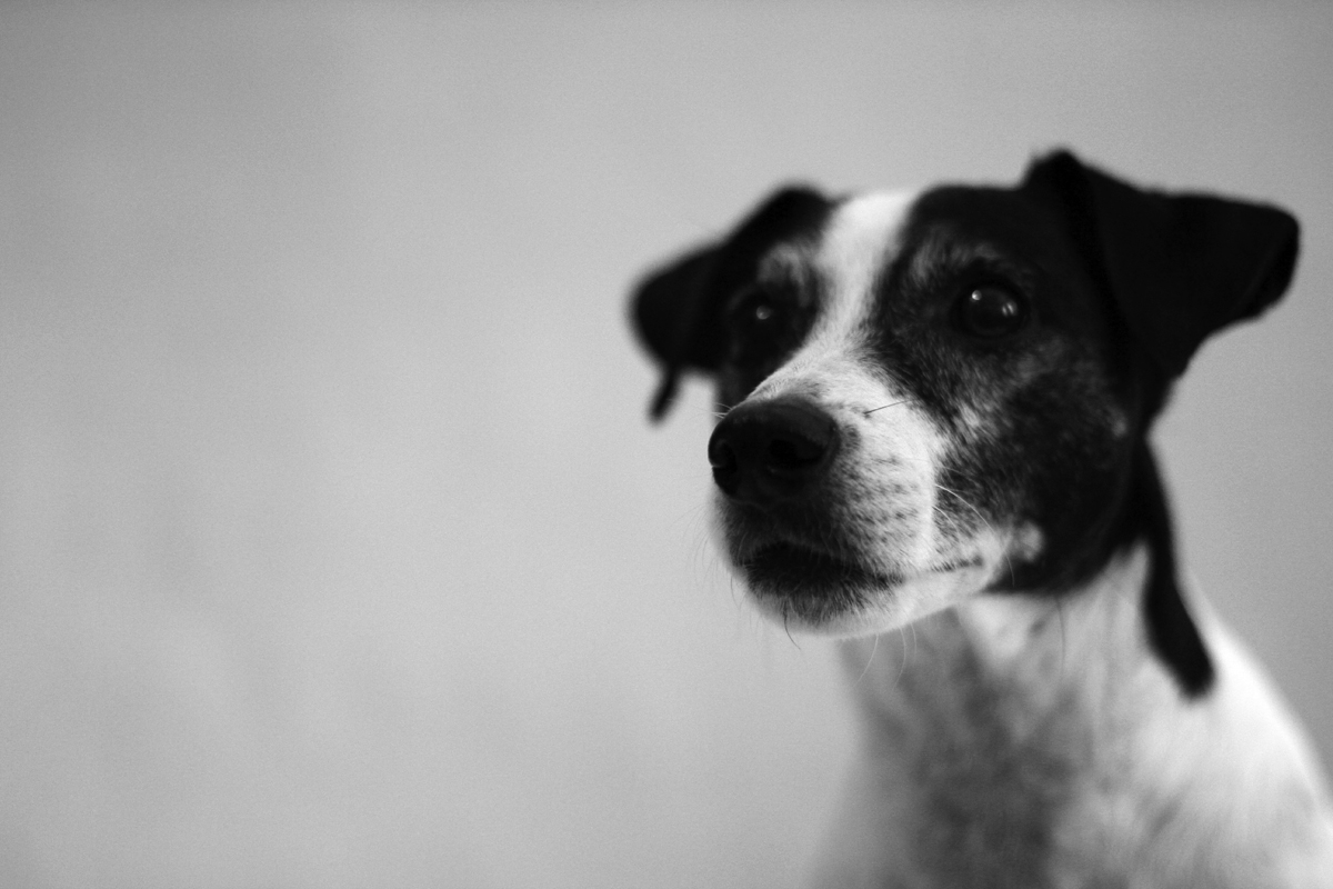 MASHIRA: Black & White Jack Russell in Black & White (1200 x 800 Pixel)