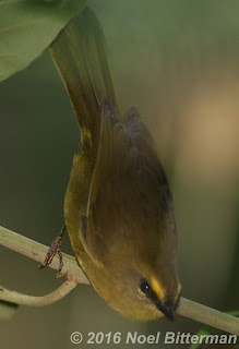 Citrine Warbler
