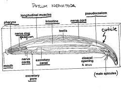 My biology: Nemathelminthes