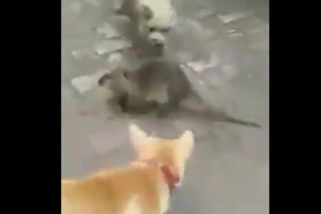 Rata gigante enfrenta a dos perros (VIDEO)