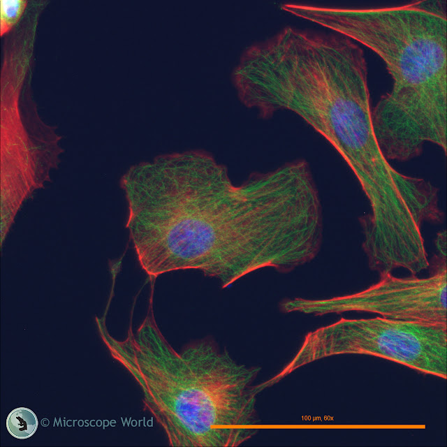 Fein Optic RB30-GFP fluorescence microscope image from Microscope World.