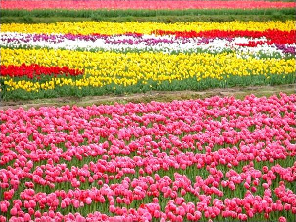 مزارع الزهور image026-775562.jpg