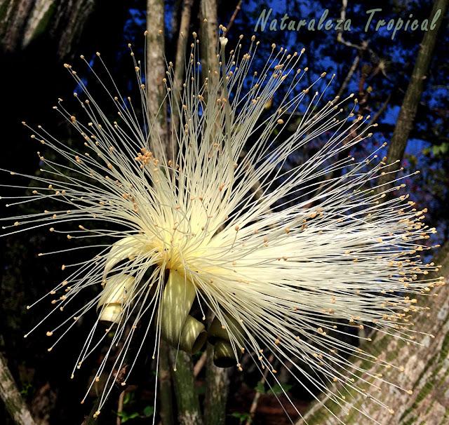 Variedad blanca de la flor del Árbol Carolina, Pseudobombax ellipticum