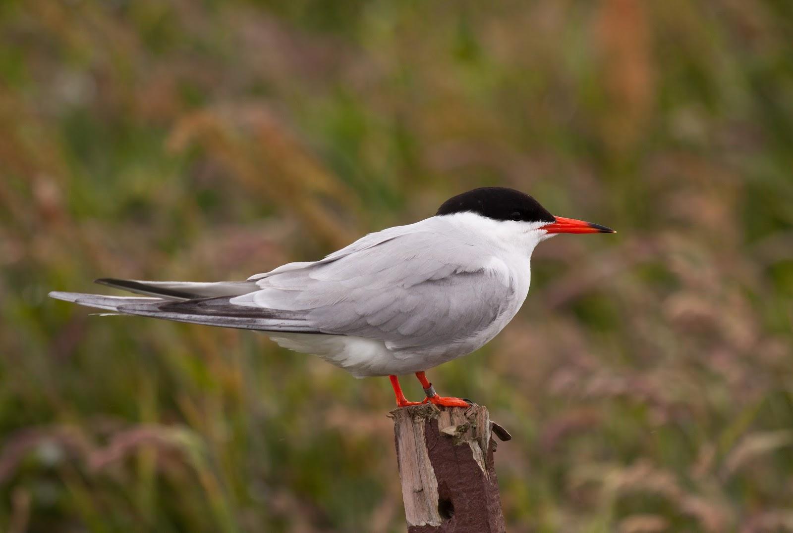 Common Tern - Farne Islands, Northumberland