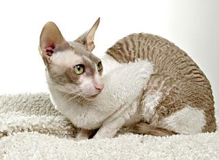 los amigos  Melhores Raças de Gatos para sua Família