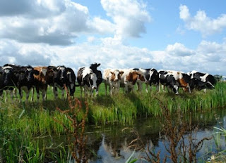 Online Handboek Ecologische Waterbeoordeling. foto: koeien beoordelen de slootkwaliteit. Bron: http://www.wew.nu/thema_bw40.php