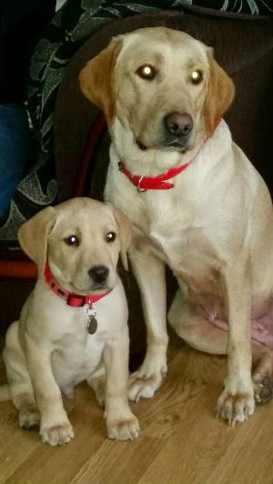 Labrador Puppy Pet Portrait