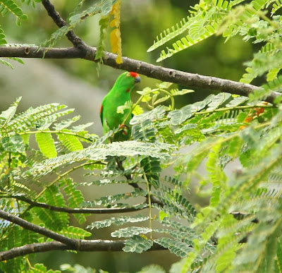 Moluccan hanging parrot