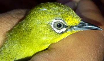 pleci dakun maput www.burung45.blogspot.com