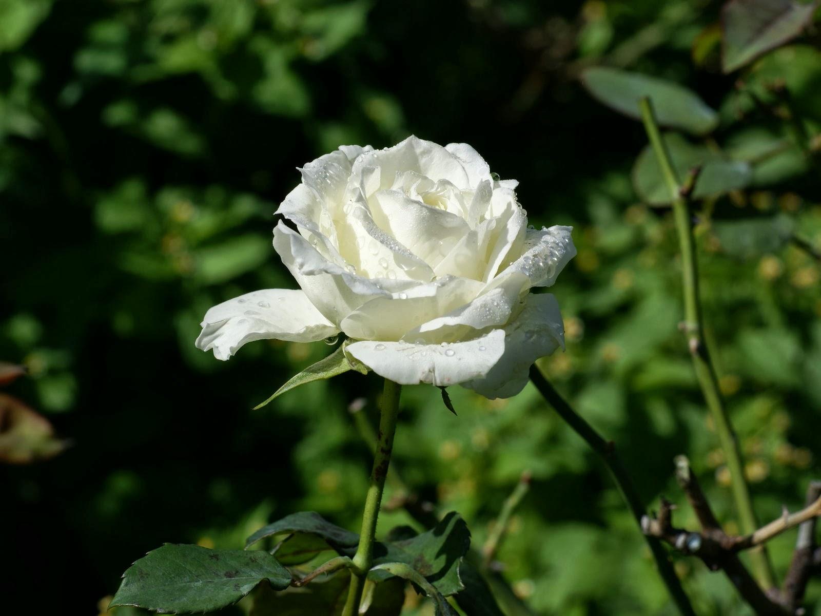 gambar bunga ros kuning   republika rss