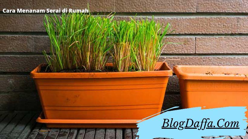 Cara menanam serai di rumah khusus untuk pemula