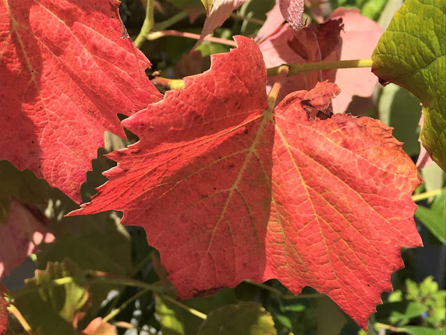 herbstlich verfärbte Rebenblätter