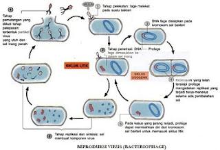perbedaan-fase-litik-dan-lisogenik-virus,sebutkan-perbedaan-proses-replikasi-virus-secara-litik-dan-lisogenik,perbedaan-siklus-litik-dan-siklus-lisogenik-pada-reproduksi-bakteriofage,