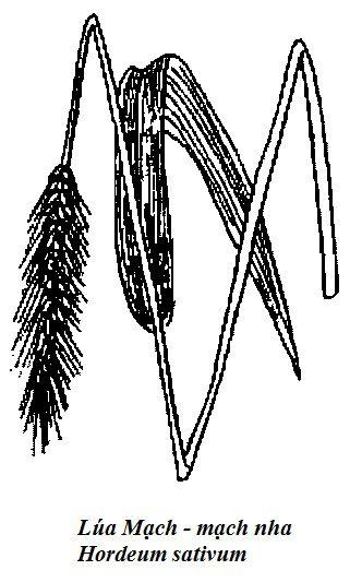 Hình vẽ Lúa Mạch - mạch nha Hordeum sativum - Nguyên liệu làm thuốc Chữa Bệnh Tiêu Hóa