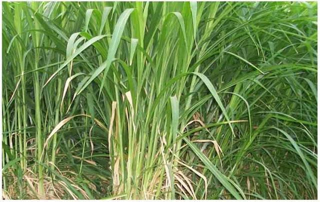 Klasifikasi, Deskripsi dan Syarat Tumbuh Rumput Gajah (Pennsetum purpureum Schaum)