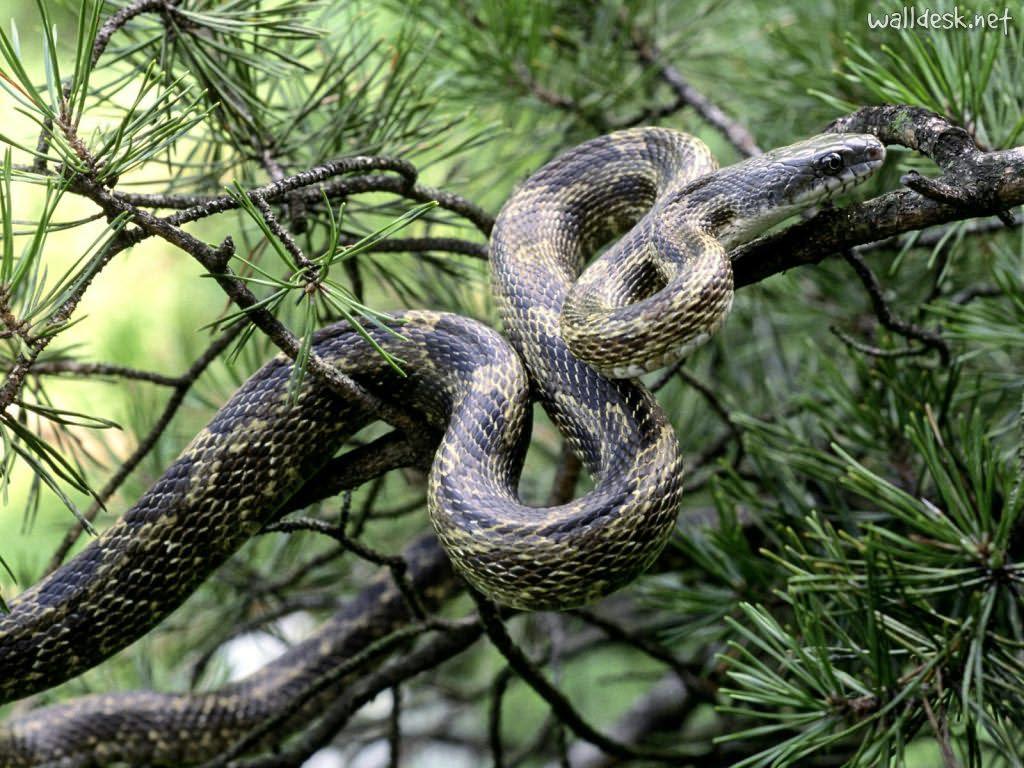 Hd Wallpaper Of Black Snake: Yellow Wallpaper: Black Snake HD Wallpaper