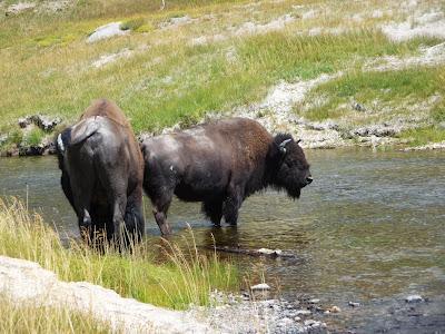 Deux gros bisons