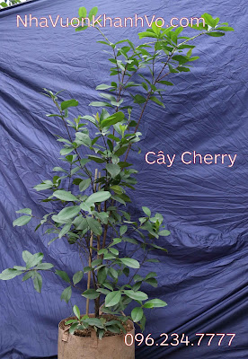 Cùng tìm hiểu về cây Cherry