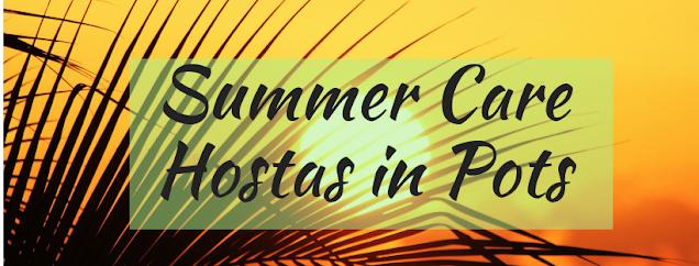 Summer Care of Hostas in Pots