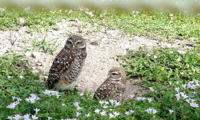 Burrowing Owls in South Florida