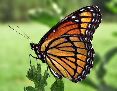 Monarch butterfly resting on stem