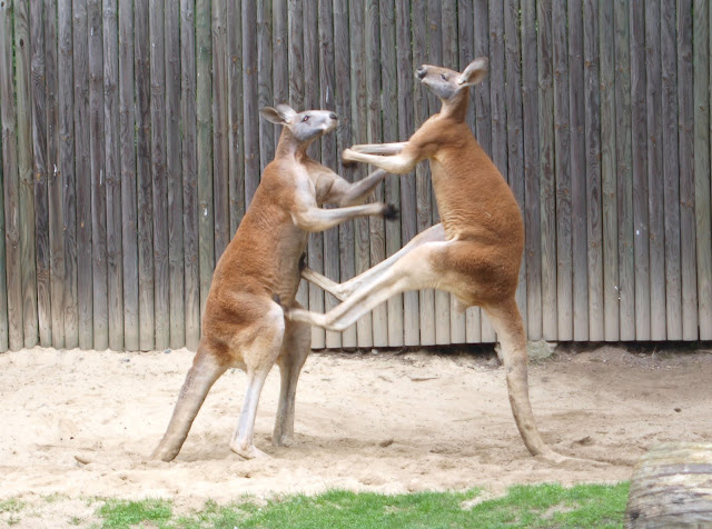 fighting_red_kangaroos